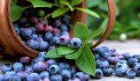 Amazing Health Benefits of Bilberry