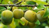 Amazing Health Benefits of Greengage