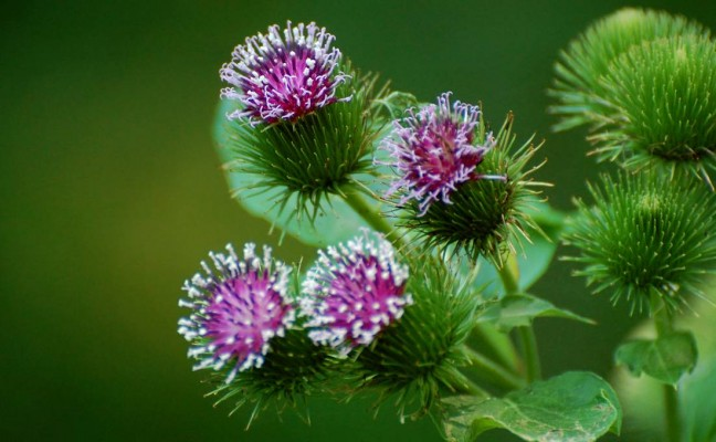 Health Benefits of Burdock
