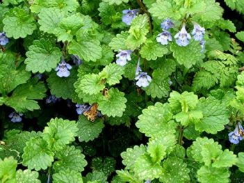 Health Benefits of Ground Ivy