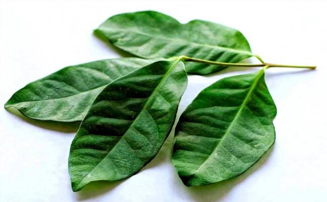 Health Benefits of Indonesian Bay Leaf