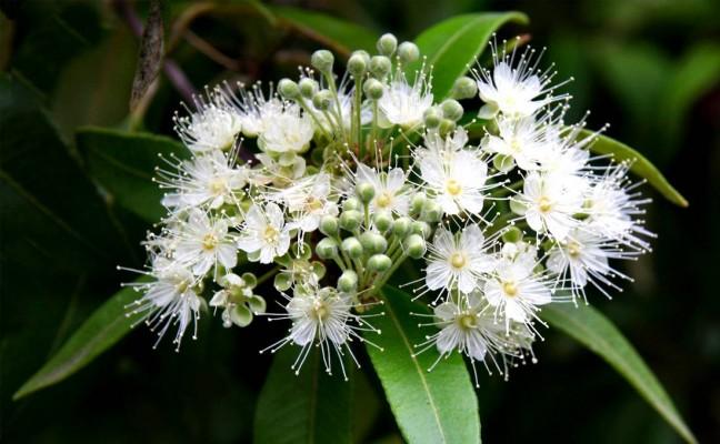 Health Benefits of Lemon Myrtle