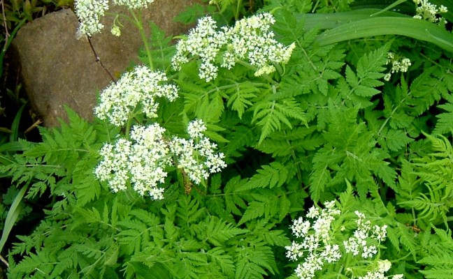 Health Benefits of Sweet Cicely
