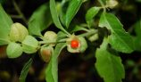 Use of Ashwagandha in Siddha Medicine